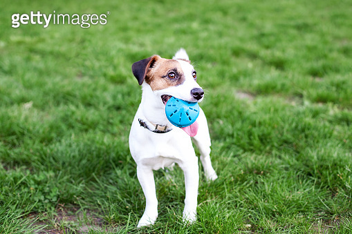 Purebred Jack Russell Terrier dog outdoors on nature in the grass. The dog holds the ball in his mouth. Happy dog Jack Russell plays on a walk in the park with a toy. The concept of pets. friendship
