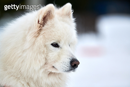 Husky sled dog face, winter background