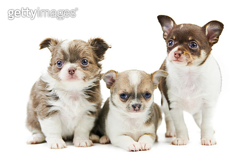 Three Chihuahua puppies, isolated