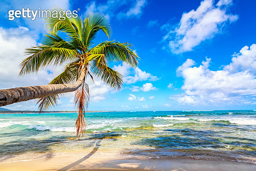 Palm tree on the wild tropical beach in Dominican Republic. Vacation travel background