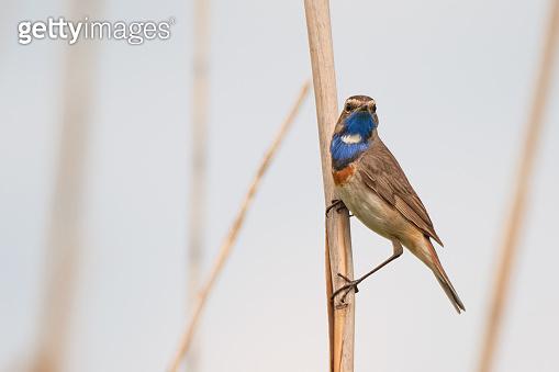 Little bluethroat male songbird in dry reeds
