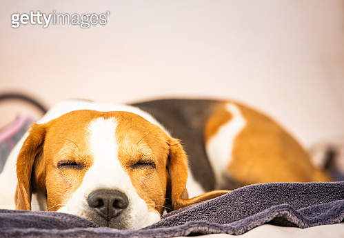 Hound Beagle dog sleeping outdoors on a garden sofa. Canine concept
