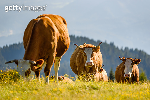 Cows on a meadow in Alps Austria. Schockl mountain above Graz place to visit