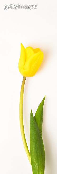 One tulip flower yellow on a white background.