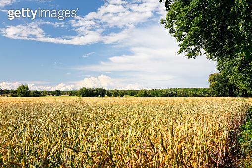 Grain field in August