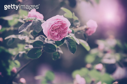 Pink bush rose in vintage and retro style, banner. Beautiful floral art background. Soft selective focus.