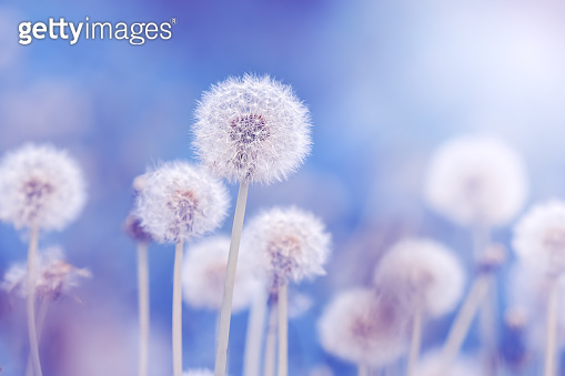 Soft fluffy dandelions in the sunlight on a blue toned background. Beautiful spring nature. Selective focus.