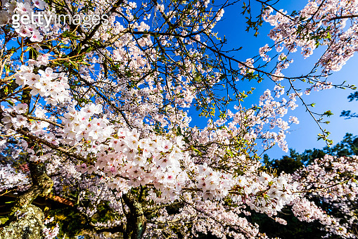 Cherry flowers bloom in Alishan of Chiayi, Taiwan.
