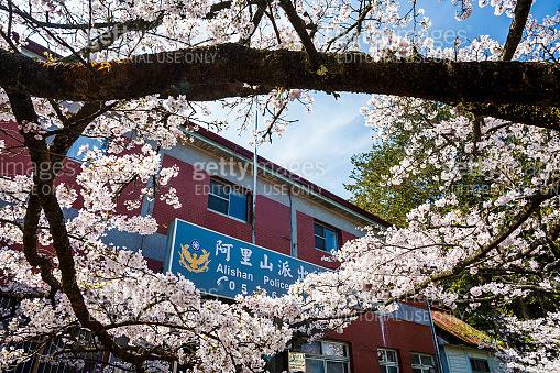 Cherry flowers bloom in spring season.
