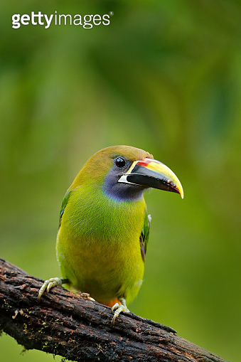 Exotic bird, tropic forest. Small toucan. Blue-throated Toucanet, Aulacorhynchus prasinus, green toucan bird in the nature habitat, exotic animal in tropical forest, Mexico. Wildlife scene from nature