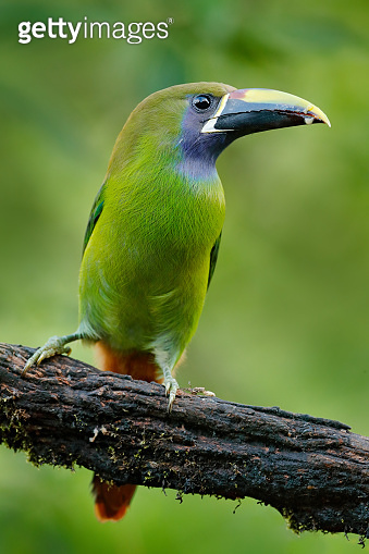 Blue-throated Toucanet, Aulacorhynchus prasinus, green toucan bird in the nature habitat, exotic animal in tropical forest, Mexico. Wildlife scene from nature. Exotic bird in the tropic forest.