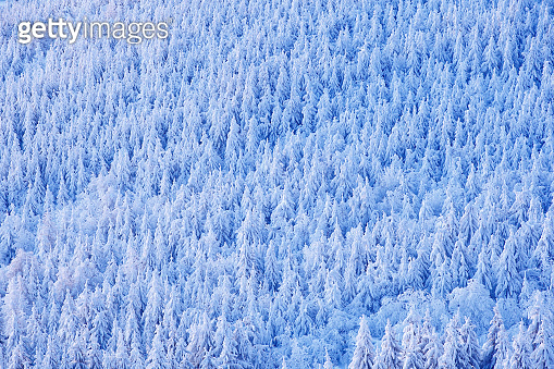Spruce tree forest with snow, ice and rime. Pink morning light before sunrise. Winter twilight, cold nature in forest. Orlicke hory, Czech republic. Mountain landscape, trees. Blue winter landscape.