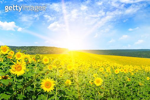 A field with bright blooming sunflowers and a sunrise on the horizon.