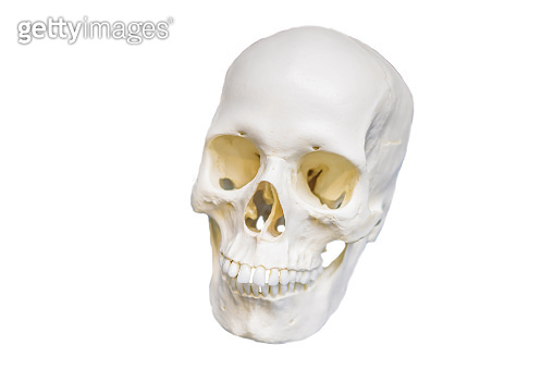 Four skull in a raw showing humans evolution. Human evolution is the evolutionary process that led to the emergence of anatomically modern humans. isolated on white