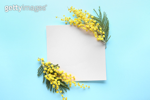 Empty sheet of paper with beautiful mimosa flowers on color background
