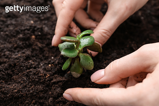 Woman setting out new plant in soil, closeup