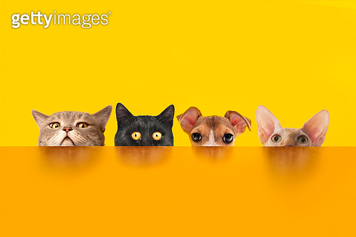 Cats and dogs behind the orange color desk.