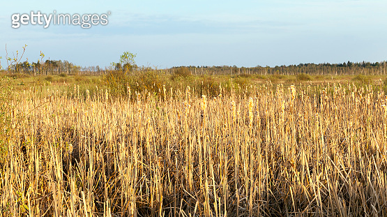 swamp and reeds, autumn