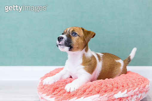 A cute Jack Russell Terrier puppy lies on a pink knitted plush donut on a green background. Pet care concept. Dog bed.