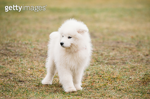 White Samoyed Puppy Dog Outdoor in Park