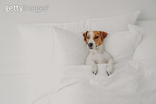 Photo of small pedigree dog lies in comfortable bed under soft blanket, enjoys cozy domestic atmosphere in clean white bedroom, waits for owner. Jack russell terrier in human bed, has rest.