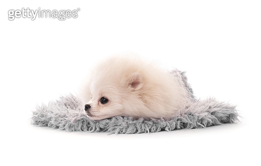 Fluffy white puppy spitz breed isolated