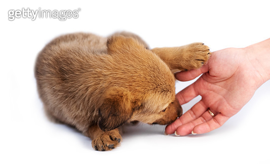 Closeup of hand stroking brown puppy isolated