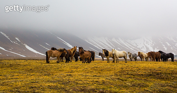 Herd of Icelandic horses run wild in the meadows in middle of winter