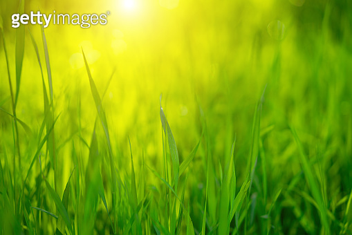 Green grass on a Sunny day, soft focus. Abstract natural backgrounds