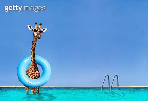 Giraffe stand inside the pool with inflatable ring
