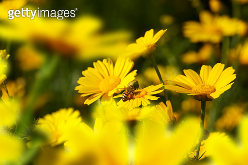 honeybee busy on yellow daisy flower