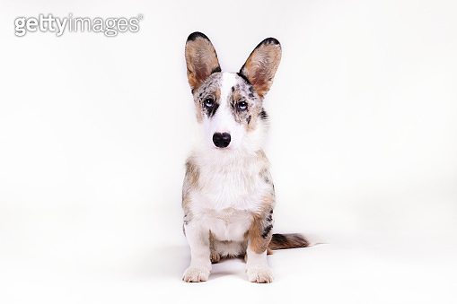 Funny looking big eared purebred dog looking at camera.