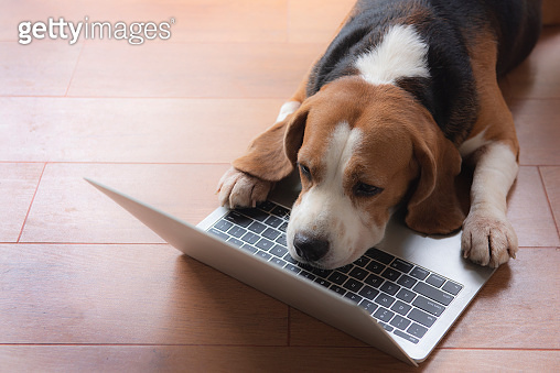 Beagle dogs work in the office at the computer. Concentrate and look at the screen with sleepiness