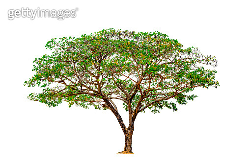 Tree isolated on white background, one tree trunk and branch plant on photo collection, beautiful green leaf tree on nature