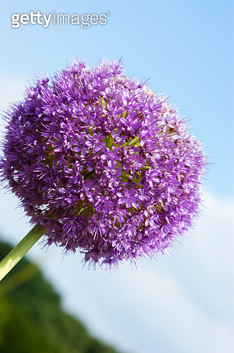 purple violet decorative garlic flower single flowerhead flower head against the blue sky and clouds
