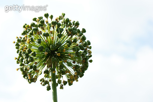decorative garlic flower single flowerhead flower head against the blue sky and clouds