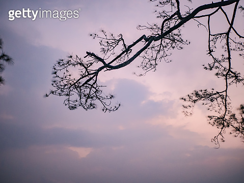 silhouette Tree with Sunrise in the morning on top of  Phu Kradueng mountain national park in Loei City Thailand