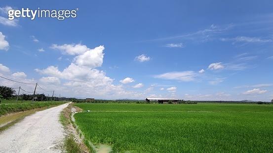 Green padi Field