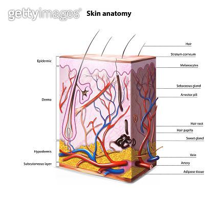 Anatomy of human skin. Vector illustration.