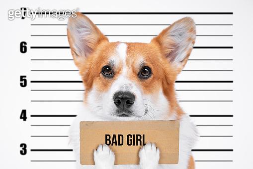 A bad, criminal welsh corgi pembroke dog at police station holding empty cardboard placard with the inscription Bad girl