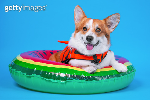 Funny smiling welsh corgi pembroke or cardigan dog in orange life vest lies in inflated swimming floating ring.  Studio, blue background, copy space.