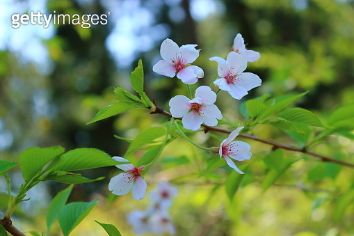 Port Montage, Hangpaduri, Saturn, Spring, Flowers, Classics, Cultural Properties,