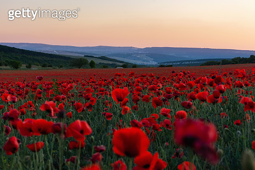 Poppy field at sunset. A bright scarlet sunset in a poppy field.