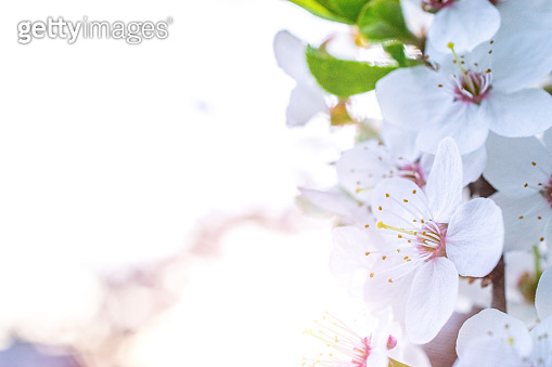 Spring blossom. May flowers and April floral nature background. For easter and spring greeting cards with copy space. Soft focus. Macrophotography.