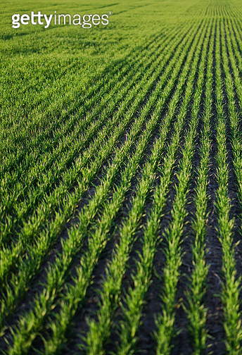 Sown farm field with wheat and cereal. Rising sprouts of barley and oats. A boundless garden with bread for food. Industrial stock theme