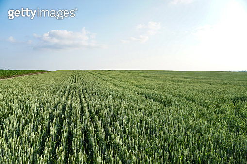 Sown farm field with wheat and cereal. Spikelets of barley and oats. Agricultural garden with bread for food. Industrial stock theme