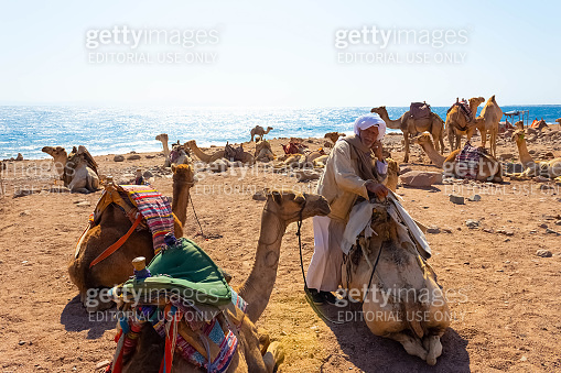 The local man and camels on beach with help of Egyptian man
