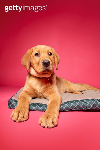 Puppy Relaxing on Her Bed