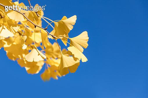 Ginkgo Biloba autumn leaves and deep blue sky. Copy space