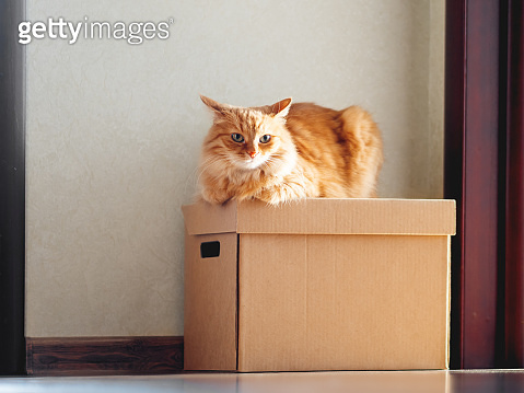Cute ginger cat lying on carton box. Sun shines on fluffy pet. Domestic animal is ready to relocate.